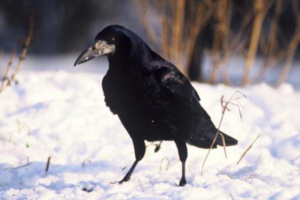 世界十大智商最高鸟类 秃鼻乌鸦